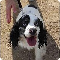 Adopt A Pet :: Gunner - Lockhart, TX