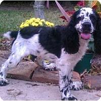 Adopt A Pet :: Harper - Sugarland, TX