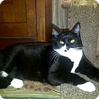 Domestic Shorthair Cat for adoption in San Jose, California - Hardy