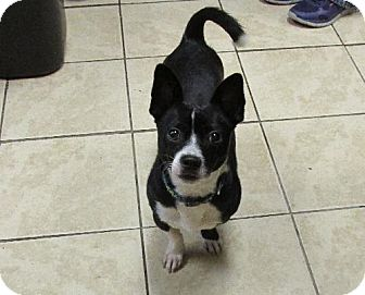 Boston Terrier/Dachshund Mix Dog for adption in Blountville, Tennessee ...