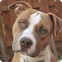 Adopt A Pet :: Chuck - Reisterstown, MD
