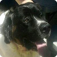 Adopt A Pet :: CHEWBACCA (Chewy) - Glendale, AZ