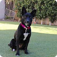 Adopt A Pet :: Ziva - Los Angeles, CA