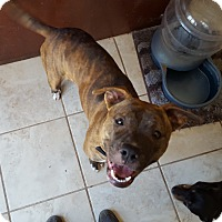 Adopt A Pet :: Amelia - Fort Worth, TX