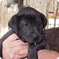 Adopt A Pet :: Max - Brattleboro, VT