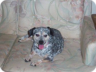 Rat Terrier/Cattle Dog Mix Dog for adoption in Homosassa, Florida - Dottie
