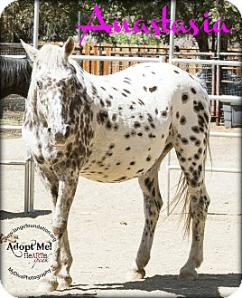 Appaloosa Mix for adoption in Canyon Country, California - Anastasia