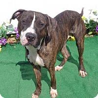 Adopt A Pet :: Briscoe - Lebanon, ME