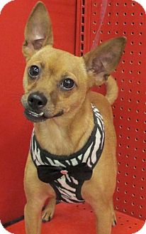 Chihuahua/Basenji Mix Dog for adoption in Conroe, Texas - Mulberry2