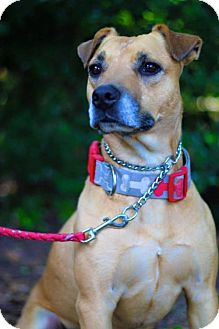 Pit Bull Terrier Mix Dog for adoption in Longview, Texas - Smiley