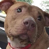 Adopt A Pet :: Julie - Billerica, MA