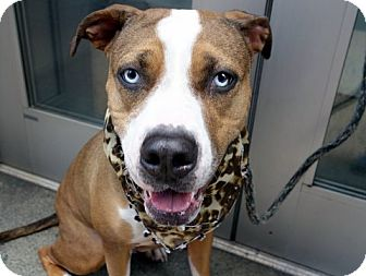 Foxhound/American Pit Bull Terrier Mix Dog for adoption in Ridgefield, Connecticut - Samantha