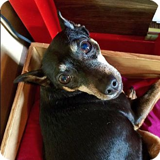 Miniature Pinscher Mix Dog for adoption in Palatine, Illinois - Mindee