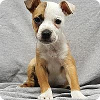 Adopt A Pet :: Big Dipper - Champaign, IL