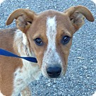 Adopt A Pet :: Biscuit