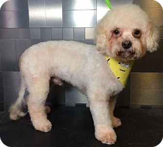 Maltese/Toy Poodle Mix Dog for adoption in McKinney, Texas - Matthew Nelson