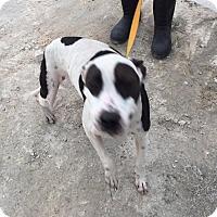 Adopt A Pet :: Zorra - Jacksonville, FL