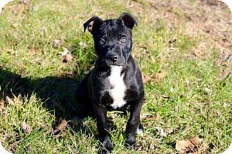American Bulldog Mix Puppy for adoption in Washington, D.C. - PUPPY SPARKLES