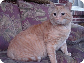Domestic Shorthair Cat for adoption in Chesapeake, Virginia - Simba
