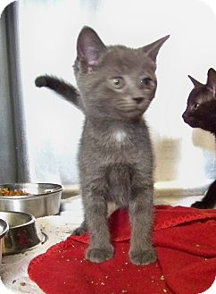 Domestic Shorthair Kitten for adoption in Dover, Ohio - Robo