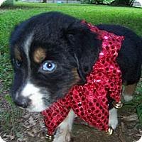 Adopt A Pet :: Azul - Lexington, TN
