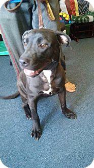 Labrador Retriever/Retriever (Unknown Type) Mix Puppy for adoption in Palatine, Illinois - Mia