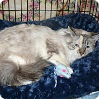 Domestic Longhair Cat for adoption in Colmar, Pennsylvania - Ophelia