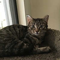 Domestic Shorthair Kitten for adoption in New Port Richey, Florida - Cinnamon