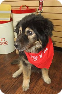 Chow Chow/Shepherd (Unknown Type) Mix Dog for adoption in Detroit, Michigan - Shelby