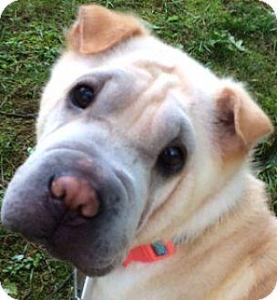 Shar Pei Dog for adoption in Barnegat Light, New Jersey - Sandy