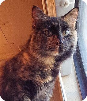 Domestic Shorthair Cat for adoption in Modesto, California - Trixie