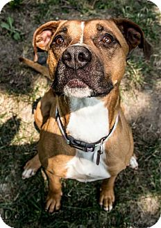Boxer/Pointer Mix Dog for adoption in Kansas City, Missouri - Daisy Duke
