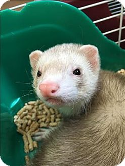 Ferret for adoption in Madison, New Jersey - Otter