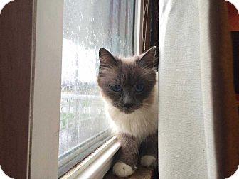 Siamese Cat for adoption in Mackinaw, Illinois - Norma