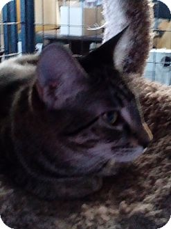 Domestic Shorthair Cat for adoption in YOUNGTOWN, Arizona - Buster