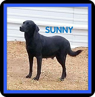 Labrador Retriever Mix Dog for adoption in Granbury, Texas - Sunny
