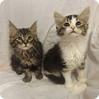 Maine Coon Kitten for adoption in Martinsburg, West Virginia - Cute Maine Coon Kittens