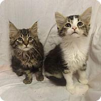 Adopt A Pet :: Cute Maine Coon Kittens - Martinsburg, WV