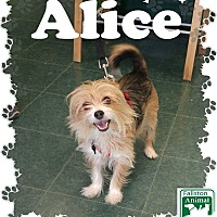 Adopt A Pet :: Alice - Fallston, MD