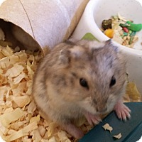 Hamster for adoption in Berlin, Connecticut - Pebbles