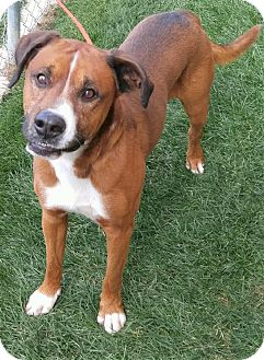 Pit Bull Terrier/Labrador Retriever Mix Dog for adoption in Fruit Heights, Utah - Freddy