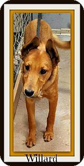 Collie/Shepherd (Unknown Type) Mix Puppy for adoption in Tombstone, Arizona - Willard