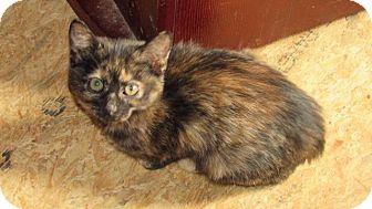 Domestic Shorthair Kitten for adoption in Aurora, Colorado - Sammy