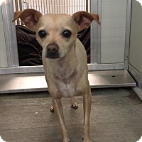Chihuahua Mix Dog for adoption in Corona, California - RILEY