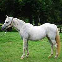Adopt A Pet :: Arabella - Lovettsville, VA