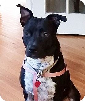 Labrador Retriever/Cattle Dog Mix Dog for adoption in Chicago, Illinois - Darla