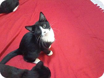Domestic Shorthair Kitten for adoption in Kinston, North Carolina - The Escapades