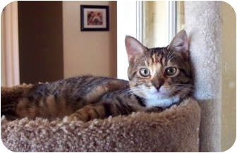 Calico Cat for adoption in Palmdale, California - Sarah