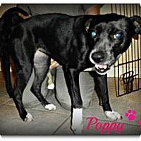 Adopt A Pet :: Poppy - Silsbee, TX