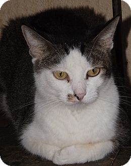 Domestic Shorthair Cat for adoption in Mesa, Arizona - Cassy